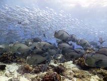 Skola av fisken och dykaren Blue Sea Background för jätteBumphead papegoja på den Sipadan ön royaltyfri bild