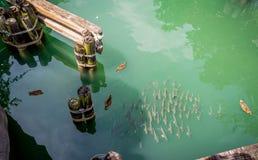 Skola av fisken och med några änder Royaltyfri Bild