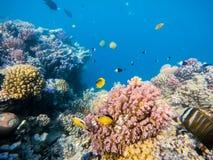 Skola av fisken på korallträdgård i Röda havet, Egypten Arkivfoton