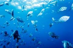 Skola av fisksurrounddykaren Fotografering för Bildbyråer