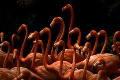 Skola av flamingo Arkivfoto