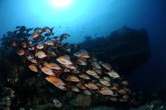 Skola av gibbusen för Lutjanus för röda snapper för puckelrygg, Maldiverna arkivbild