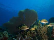 Skola av grymtningar mot en bakgrund av mjuk-koraller och blått vatten för frikänd Royaltyfri Bild