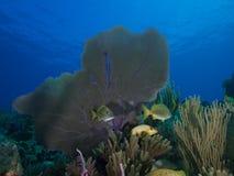 Skola av grymtningar mot en bakgrund av mjuk-koraller och blått vatten för frikänd Royaltyfria Foton