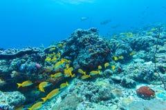 Skola av gula fiskar, Maldiverna Fotografering för Bildbyråer