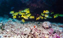 Skola av gula fiskar, Maldiverna Arkivfoto