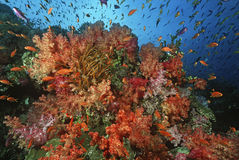 Skola av havsgoldies bland den mjuka korallreven Fotografering för Bildbyråer