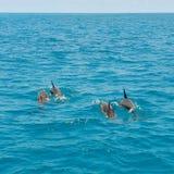 Skola av lösa delfin som simmar i Maldiverna Arkivfoto