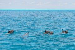 Skola av lösa delfin som simmar i Maldiverna Royaltyfria Foton