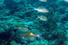 Skola av randiga silverfiskar för guling, Royaltyfria Bilder