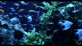 Skola av sötvattensfisken i akvariet arkivfilmer