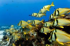 Skola av simning för PorkfishAnisotremusvirginicus på korallreven på korallreven Royaltyfria Foton
