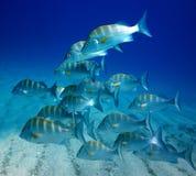 Skola av stålarfisk Royaltyfri Fotografi