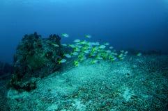 Skola blått och gul mer fusilier i Gili, Lombok, Nusa Tenggara Barat, Indonesien undervattens- foto arkivfoto