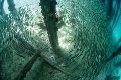 Skola fisken nedanför pir royaltyfria foton