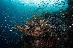 Skola fisken och koraller i Raja Ampat arkivfoton