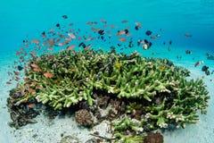 Skola fisken och sunda koraller i Indonesien arkivfoton
