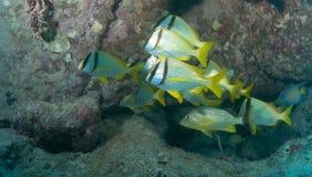 Skola fisken på en haveri i Key West Royaltyfri Foto