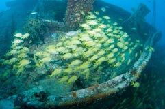 Skola fisken på en haveri i Key West Royaltyfri Fotografi