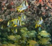 Skola fisken på en haveri i Key West Arkivfoto