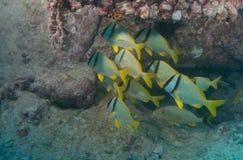 Skola fisken på en haveri i Key West Royaltyfri Bild