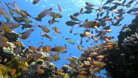 Skolan av den fiskVanikoro soparen simmar nära korallreven i Röda havet egypt