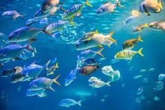 Skolan av havsfisken simmar till undervattens- yttersida Royaltyfri Foto