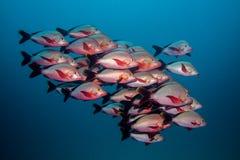 Skolan av puckelryggSnapper fiskar simning i öppet vatten tillsammans arkivbilder