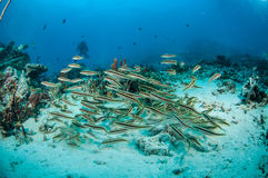 SkolgångblenniesPholidichthys leucotaenia i Gili, Lombok, Nusa Tenggar Barat, Indonesien undervattens- foto royaltyfri bild