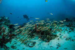 SkolgångblenniesPholidichthys leucotaenia i Gili, Lombok, Nusa Tenggar Barat, Indonesien undervattens- foto Arkivbilder