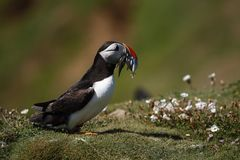 Skomer fishing Puffin Stock Photography