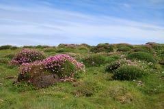 Skomer Island. With Armeria maritima Stock Photos