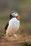 Skomer Puffin. A Puffin looks round, showing off its wonderfull bill on Skomer Island Royalty Free Stock Photos