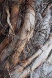 Skomplikowany drzewo korzeń w szczególe Zdjęcie Royalty Free