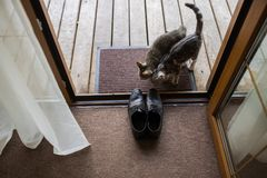 Skor för läder för svart man` s står på ingången Två tillfälliga katter sniffar skor för man` s Royaltyfria Foton