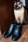 Skor för Siamese katt och man royaltyfri foto