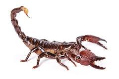 Skorpion Lizenzfreies Stockbild