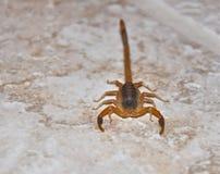 Skorpion Lizenzfreie Stockbilder