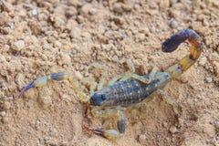 skorpion Zdjęcie Stock