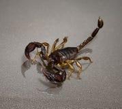Skorpion auf einem schwarzen Hintergrund Stockbilder