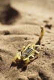 Skorpion auf Wüstensand Stockbild
