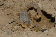 Skorpion (Buthus-occitanus) Stockfoto