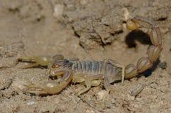 Skorpion (Buthus-occitanus) Stockbild