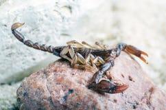 Skorpion, der oben auf einem Steinabschlu? sitzt stockbilder