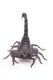 Skorpion för Heterometrus longimanusbaksida Kejsareskorpion, Pandinus Arkivfoton