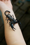 Skorpion an Hand lizenzfreies stockfoto
