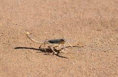 Skorpion i öken royaltyfri fotografi