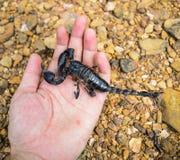 Skorpion i hand Fotografering för Bildbyråer