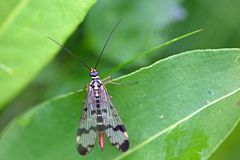 Skorpion komarnica w natura terenie Eifel Obrazy Stock