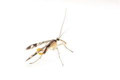 Skorpion komarnicy wizerunki obraz stock